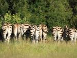 Zebra Ending