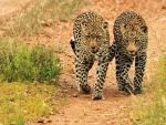 Twin Leopards