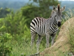 Zebra Kiddy